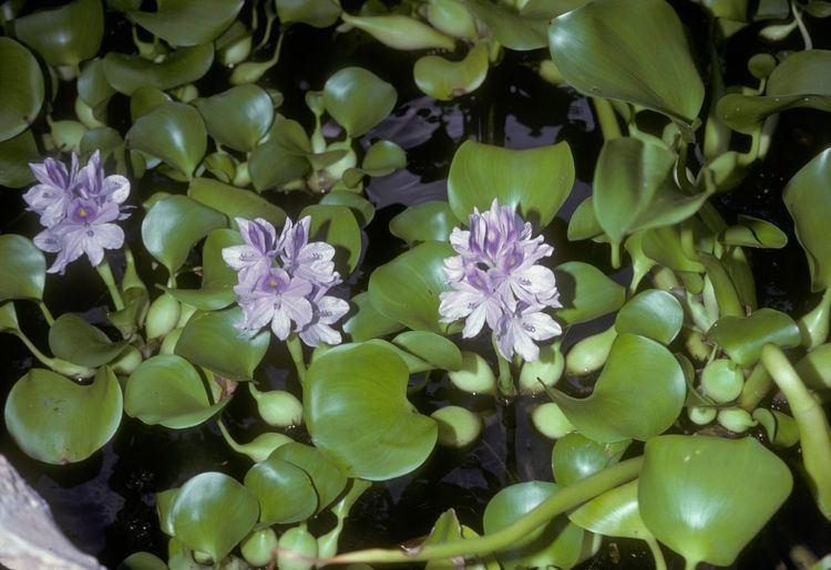 Eichhornia EICHHORNIA CRASSIPES herbis mundi