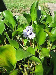Eichhornia azurea httpsuploadwikimediaorgwikipediacommonsthu