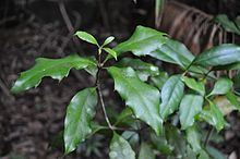 Eidothea zoexylocarya httpsuploadwikimediaorgwikipediacommonsthu