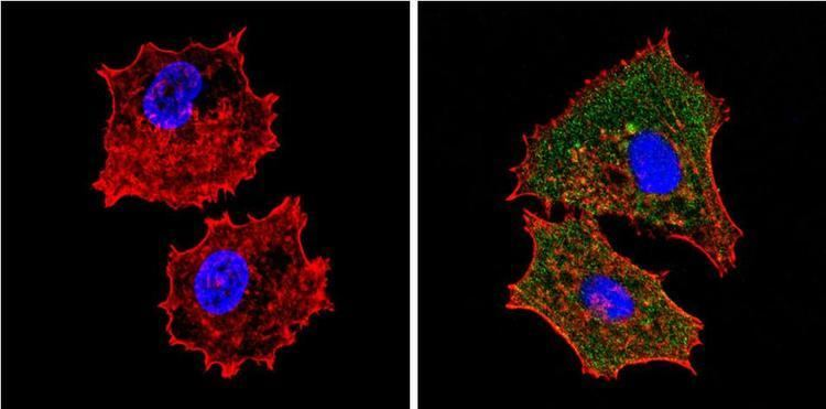 EIF2S1 AntiEIF2S1 Antibody clone 5A5 for IHC ICC IFImmunofluorescence