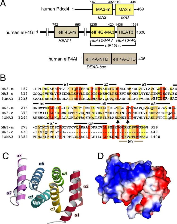 EIF4A PDCD4 inhibits translation initiation by binding to eIF4A using both