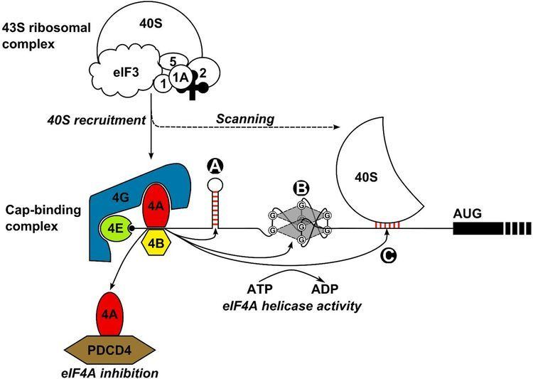 EIF4A Translational dysregulation in cancer eIF4A isoforms and sequence