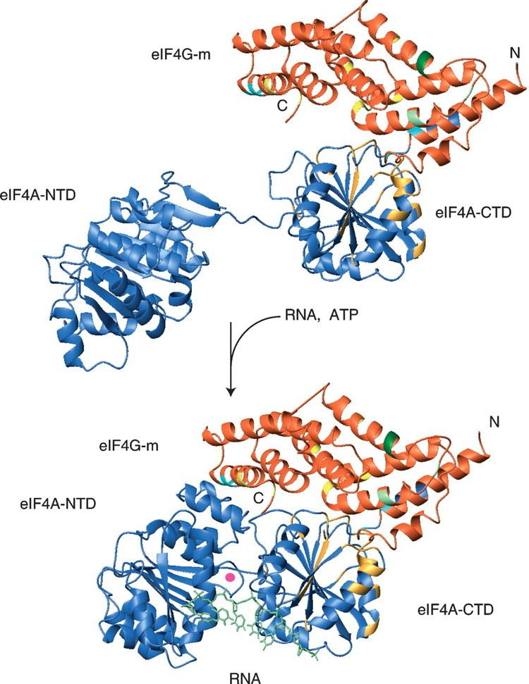 EIF4A Structural basis for the enhancement of eIF4A helicase activity by eIF4G