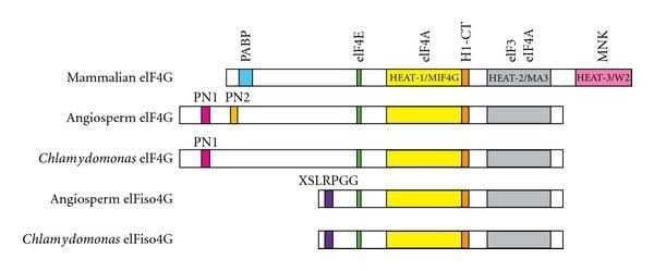 EIF4G Domain organization of eIF4G and eIFiso4G from mammals angiosperms