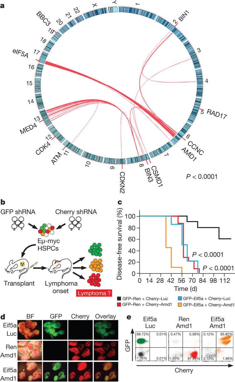 EIF5A Loss of eIF5A and AMD1 cooperate in lymphoma progression A tumour