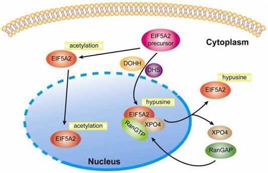 EIF5A Roles of Eukaryotic Initiation Factor 5A2 in Human Cancer