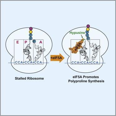 EIF5A eIF5A Promotes Translation of Polyproline Motifs Molecular Cell