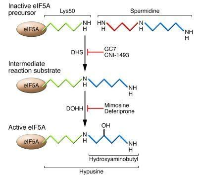 EIF5A JCI Revisiting an old acquaintance role for eIF5A in diabetes
