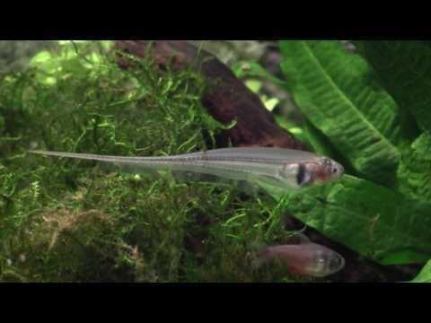 Eigenmannia virescens Eigenmannia virescensmp4 YouTube