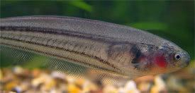 Eigenmannia virescens Eigenmannia virescens Glass Knife Fish Green Knifefish Tropical