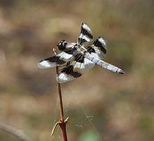 Eight-spotted skimmer httpsuploadwikimediaorgwikipediacommonsthu