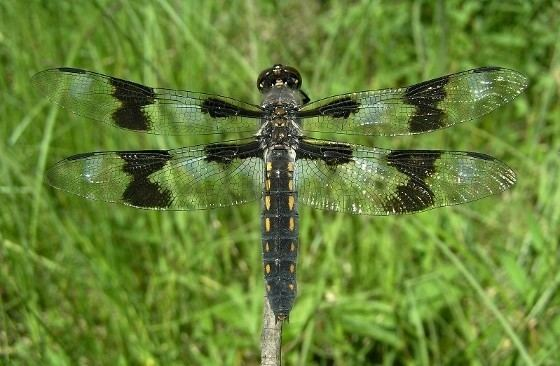 Eight-spotted skimmer Eightspotted Skimmer Libellula forensis BugGuideNet