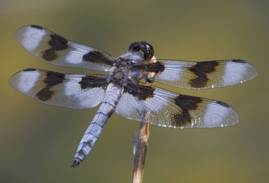 Eight-spotted skimmer Dragonflies