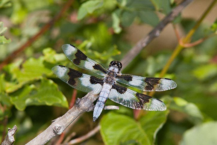 Eight-spotted skimmer Eightspotted Skimmer Libellula forensis