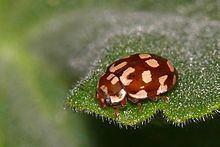 Eighteen-spotted ladybird httpsuploadwikimediaorgwikipediacommonsthu
