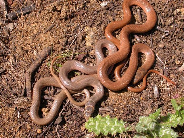 Eirenis modestus Eirenis modestus The Reptile Database