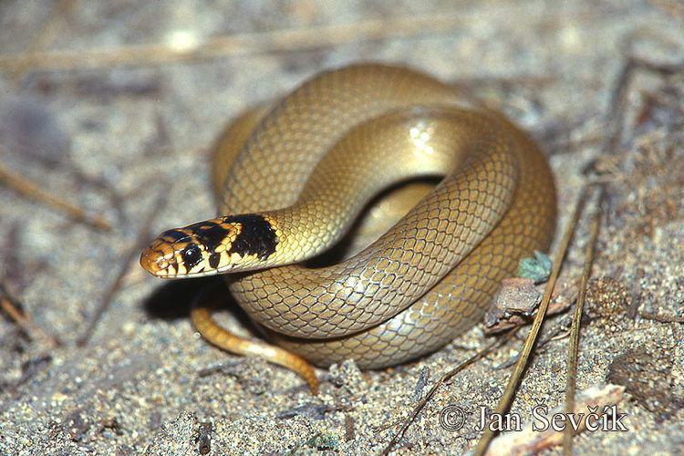 Eirenis modestus Eirenis modestus Ringheaded dwarf snake Coronella modesta