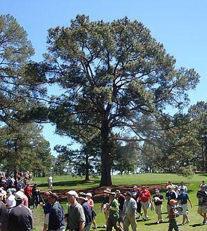 Eisenhower Tree httpsuploadwikimediaorgwikipediacommonsthu