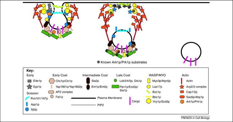 Eisosome Clathrinmediated endocytosis in budding yeast Trends in Cell Biology