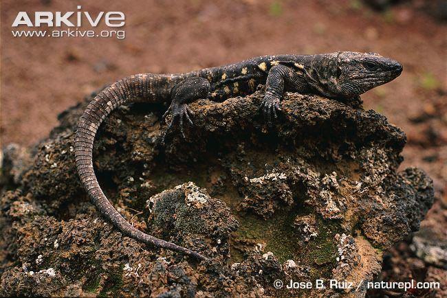 El Hierro giant lizard Hierro giant lizard videos photos and facts Gallotia simonyi ARKive