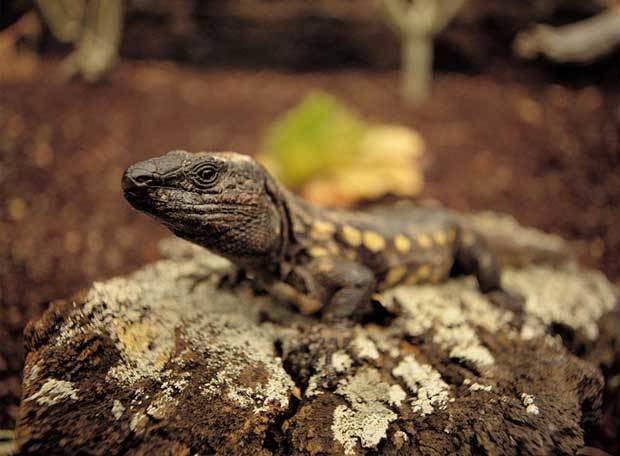 El Hierro giant lizard 2bpblogspotcomOCaZntMZnhgTkNHrZrvUoIAAAAAAA