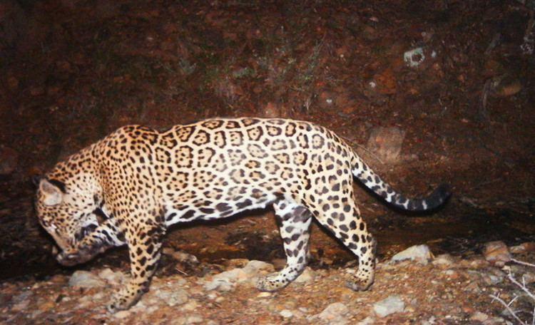 El Jefe (jaguar)