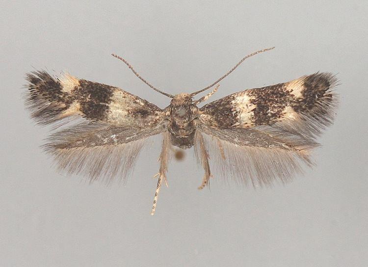 Elachista alpinella