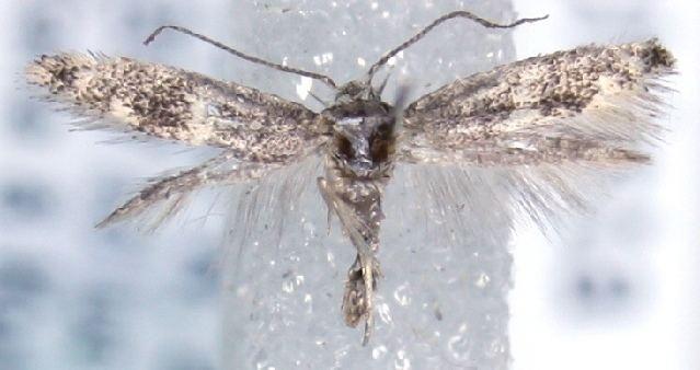 Elachista atrisquamosa