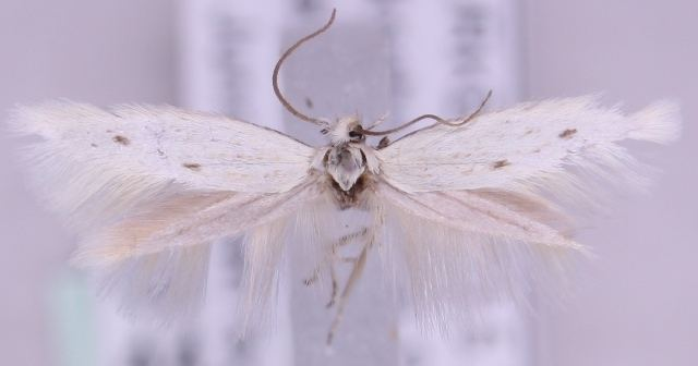 Elachista deceptricula