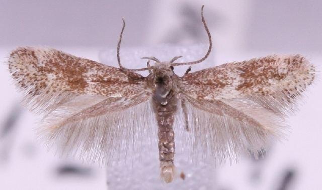 Elachista herrichii