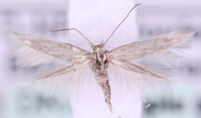 Elachista lastrella