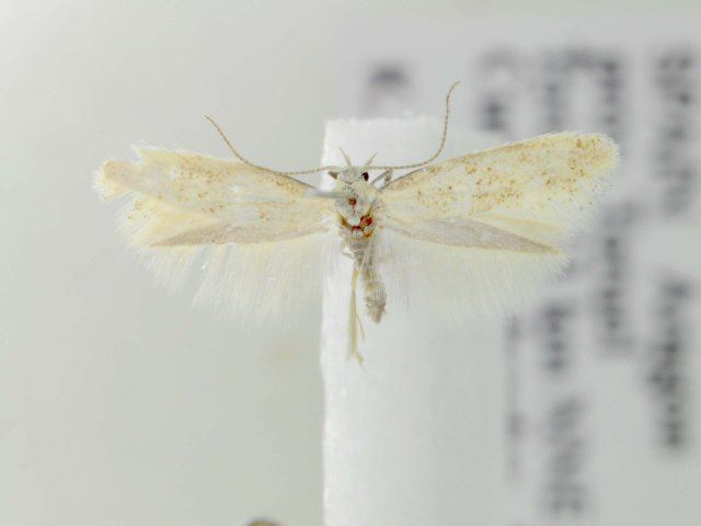 Elachista lugdunensis