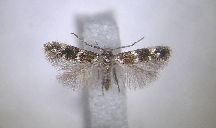 Elachista nobilella