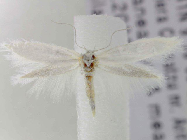 Elachista nuraghella