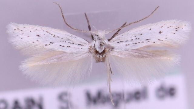Elachista oukaimedenensis