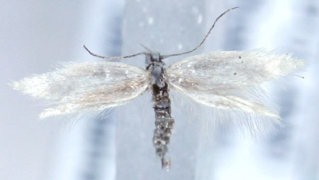 Elachista pollinariella