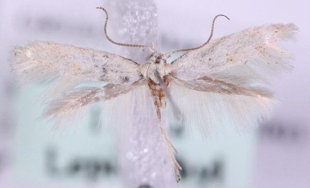 Elachista rudectella