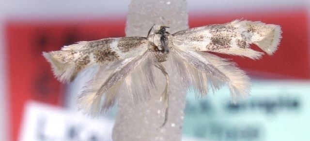 Elachista versicolora