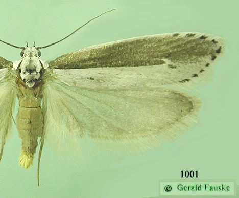Elachistidae Family Elachistidae