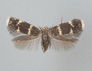 Elachistidae httpsuploadwikimediaorgwikipediacommonsthu