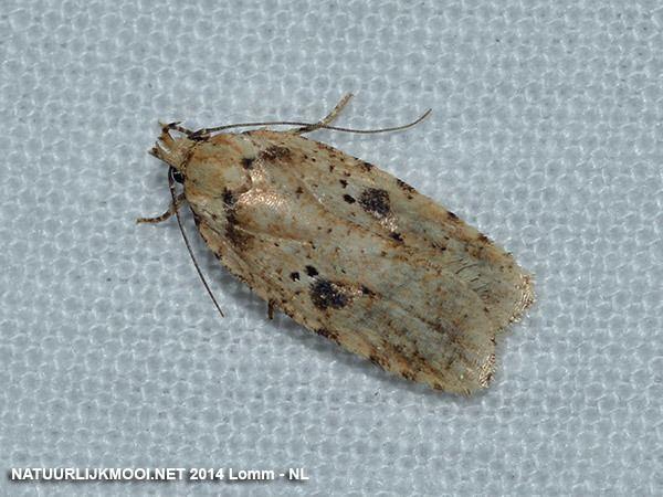 Elachistidae Elachistidae