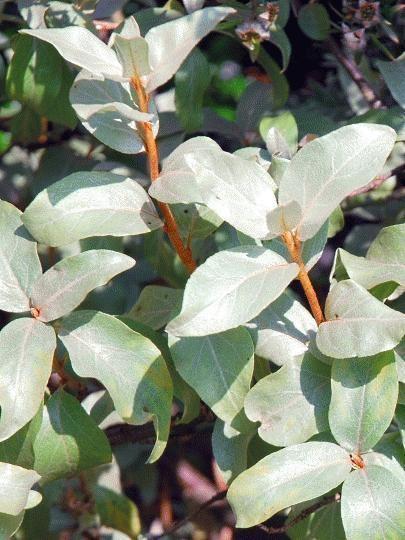 Elaeagnus commutata BlueBell Nursery BlueBell Nursery Trees amp Shrubs Elaeagnus