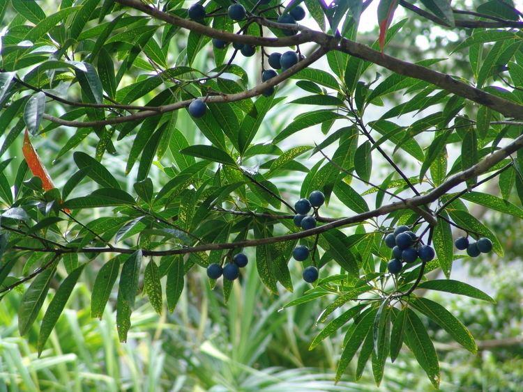 Elaeocarpus Elaeocarpus angustifolius Wikiwand