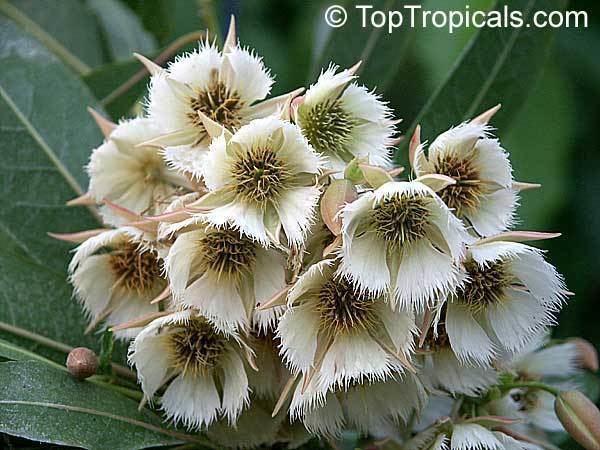 Elaeocarpus Elaeocarpus angustifolius Fairy Petticoats Bead tree Shiva tears