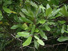 Elaeocarpus httpsuploadwikimediaorgwikipediacommonsthu