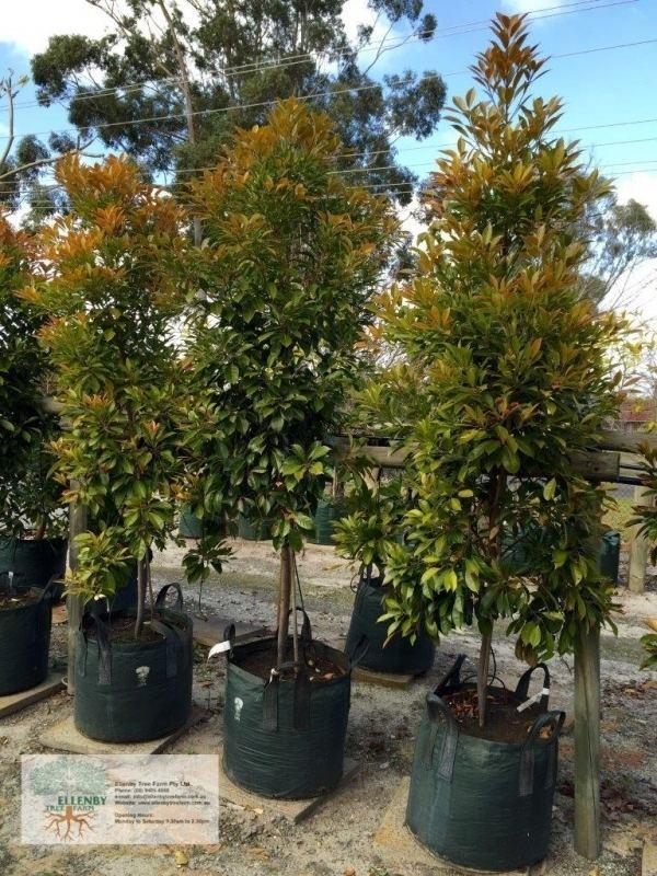 Elaeocarpus Elaeocarpus eumundii 39Eumundi Quondong39 Ellenby Tree Farm