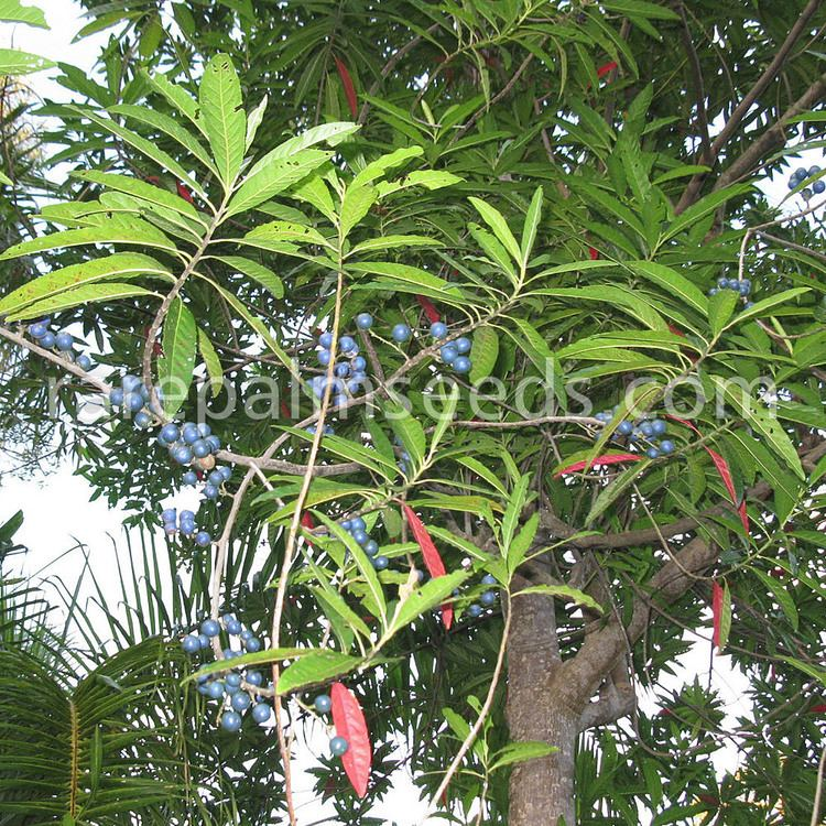 Elaeocarpus angustifolius Elaeocarpus angustifolius buy seeds at rarepalmseedscom