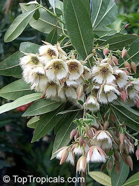Elaeocarpus angustifolius Elaeocarpus angustifolius Fairy Petticoats Bead tree Shiva tears
