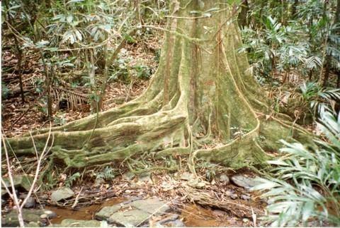 Elaeocarpus angustifolius httpsuploadwikimediaorgwikipediacommons55