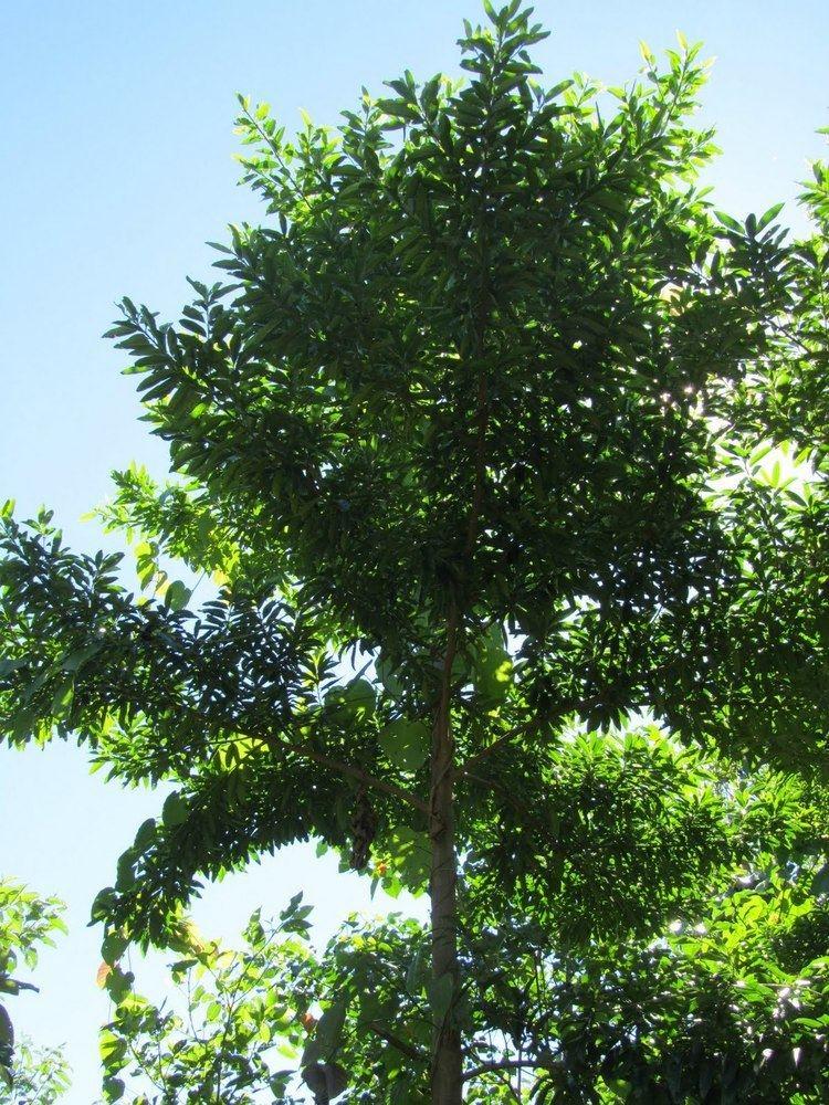 Elaeocarpus angustifolius Reforestation in Queensland Australia Blue Quandong Elaeocarpus